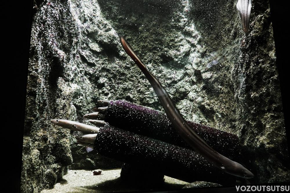 密集するマアナゴ