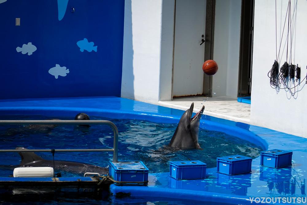 ボール遊びをするイルカ