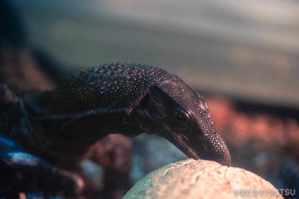ザラクビオオトカゲ