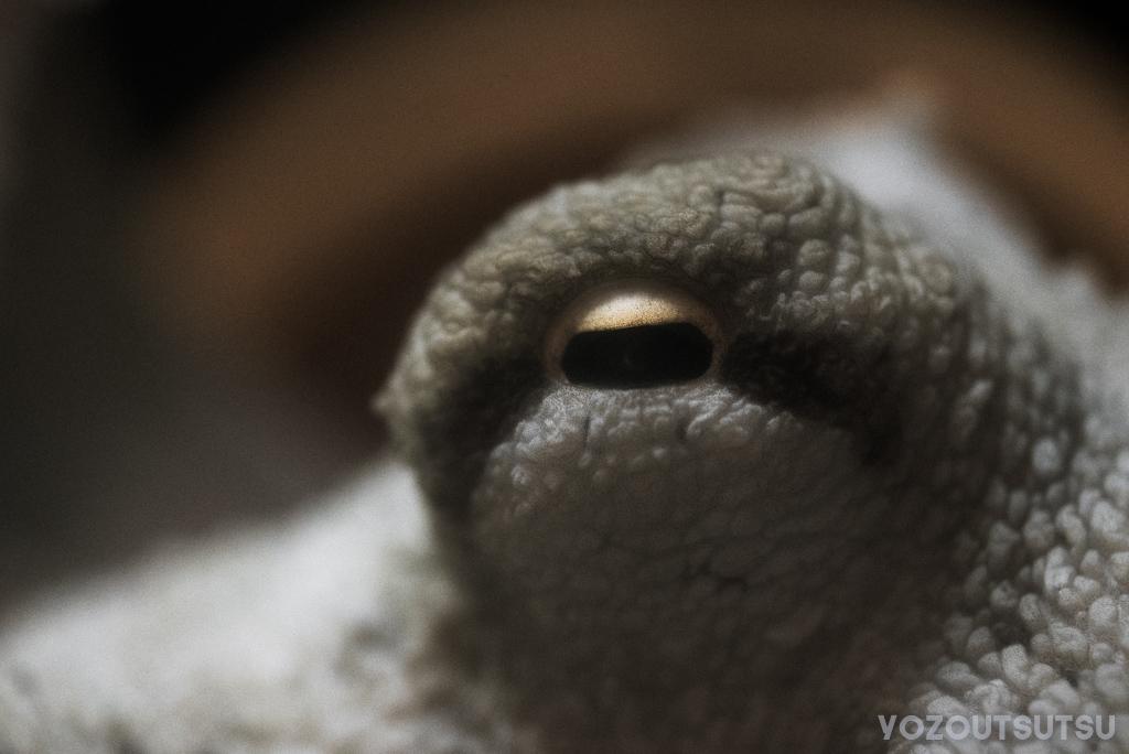 マダコの目