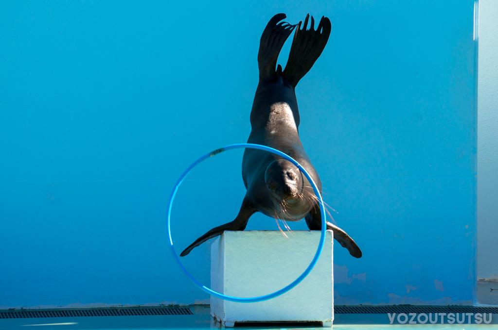 しながわ水族館のアシカショー。フラフープを回す。