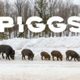 【PIGGS】クラファンのリターンがいい感じ【限定ジャケットのアルバムとかチェキとか】